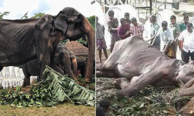 Tikiri, the 70yo Ailiing Elephant Forced to Walk i - WORLD OF BUZZ