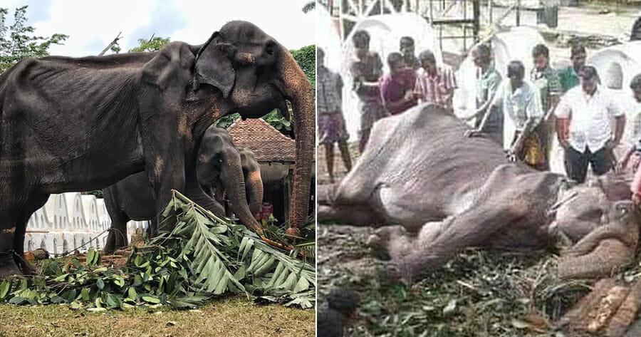 Tikiri, the 70yo Ailiing Elephant Forced to Walk i - WORLD OF BUZZ