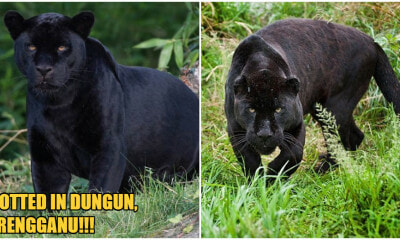A Black Panther Was Spotted Lurking Near Residential Area In Terengganu Village - WORLD OF BUZZ 1