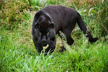 A Black Panther Was Spotted Lurking Near Residential Area In Terengganu Village - WORLD OF BUZZ