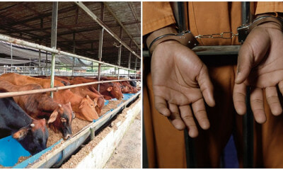 8 Thieves Caught Trying to Steal 58 COWS From Negri Sembilan Farm, 5 Get Arrested - WORLD OF BUZZ