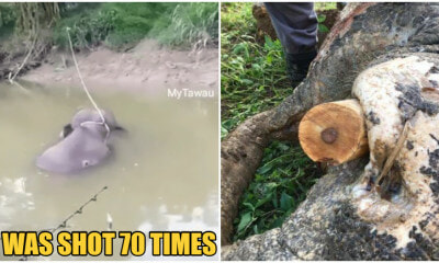 Elephant in Sabah Was Shot 70 Times Before Tusks Were Removed By Poachers - WORLD OF BUZZ 2
