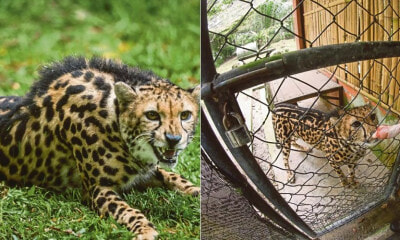 "This Rare ""King Cheetah"" is One of 30 Left in the World, & It Is Here in Zoo Negara! - WORLD OF BUZZ"