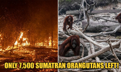 Forest Fires in Indonesia Are Leaving Endangered Sumatran Orangutans Homeless Among Ashes - WORLD OF BUZZ