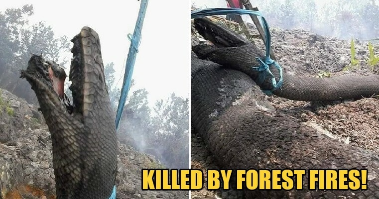 Huge Pythons Measuring Up to 10m Found Burnt to Death Trying to Escape Indonesia's Forest Fires - WORLD OF BUZZ 1