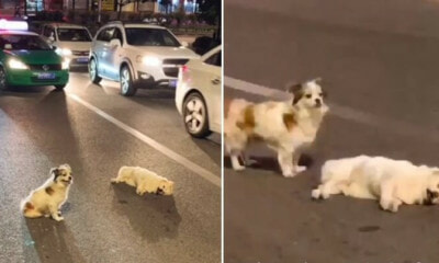 Loyal Doggy Stands Guard On Busy Road For 3 Hours to Protect Friend That Was Hit By Car - WORLD OF BUZZ 4