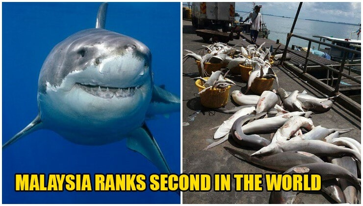 Malaysia Recorded As The World's 2nd Largest Importer Of Shark Fins - WORLD OF BUZZ 1