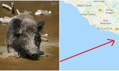 Melaka Is Now Being Invaded By A Strong Foreign Force And They Are Wild Boars?! - WORLD OF BUZZ 3