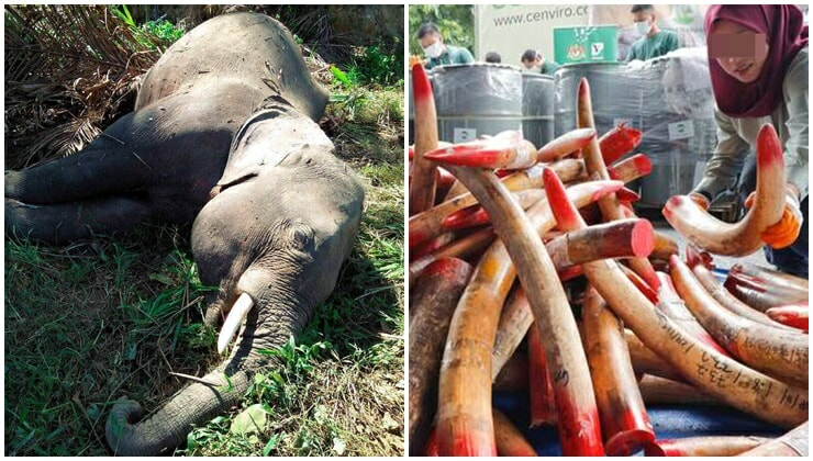M'sian Elephants Forced To Lose Their Tusks For Survival Because Poachers Won't Stop - WORLD OF BUZZ 1