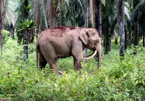 M'sian Elephants Forced To Lose Their Tusks For Survival Because Poachers Won't Stop - WORLD OF BUZZ 2