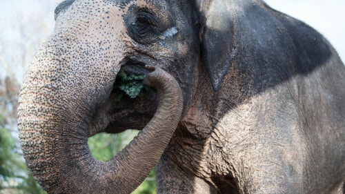 M'sian Elephants Forced To Lose Their Tusks For Survival Because Poachers Won't Stop - WORLD OF BUZZ 6