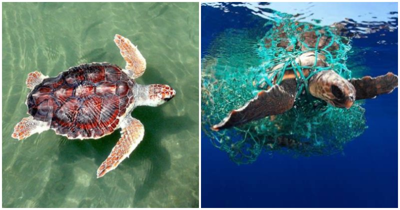 Penang Fisherman Finds Rare Loggerhead Turtle Trapped in Net & Too Weak to Swim - WORLD OF BUZZ