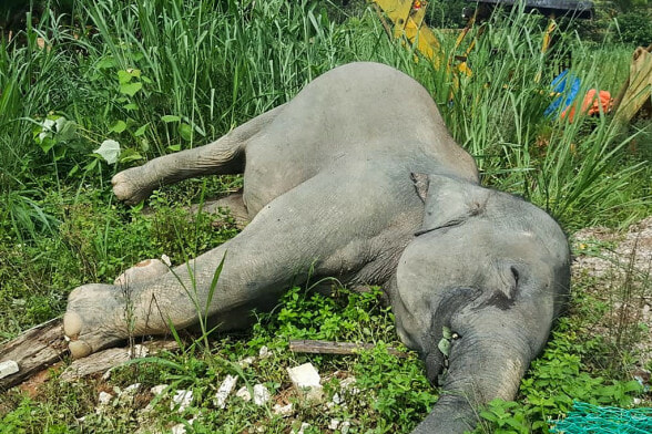Pygmy Elephant Found Dead Floating In Sabah River with Gunshot Wounds - WORLD OF BUZZ 1