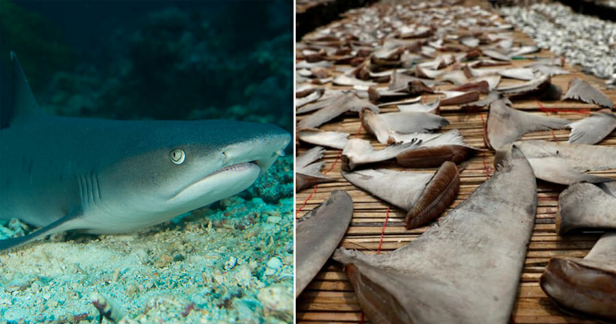 Malaysia is One of The Top 20 Countries Who Votes AGAINST the Protection of Endangered Shark Species - WORLD OF BUZZ
