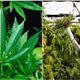Six Cannabis Plants Allowed For One Home Under Proposed Law In Thailand - WORLD OF BUZZ 3