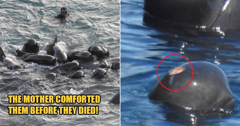 [Watch] Video Shows Mummy Dolphin Comforting Her Babies Before They Were Slaughtered By Fishermen - WORLD OF BUZZ