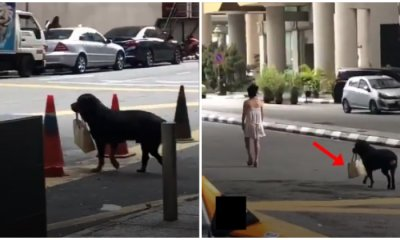 M'sian Lady Avoids Snatch Thieves By Getting a Rottweiler To Carry Her Handbag For Her - WORLD OF BUZZ