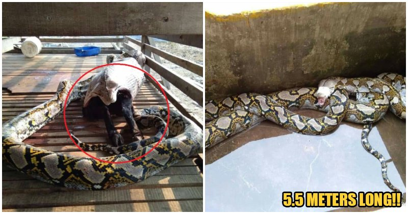 Bomba Catches Huge Python After It Swallowed a 30kg Goat Whole - WORLD OF BUZZ