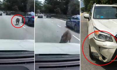 Watch: Wild Boar Rams Into SUV on the Road & Severely Dents It SUV After Ramming Into It, but Immediately Gets Up & Walks Away - WORLD OF BUZZ