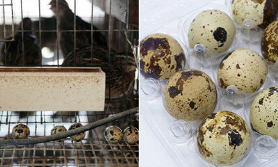 M'sian Quail Eggs Found to Have Drugs in Them, Barred From Entering Singapore - WORLD OF BUZZ