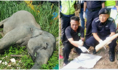 Murderers Of Borneo Pygmy Elephant Have Been Caught And They're Not Poachers - WORLD OF BUZZ