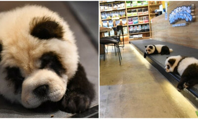 'Panda' Pet Cafe Under Fire By Netizens For Dyeing Chow Chows To Look Like Pandas - WORLD OF BUZZ 3