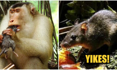 Meet M'sia's Latest Nope, The Rat-Eating Monkeys - WORLD OF BUZZ