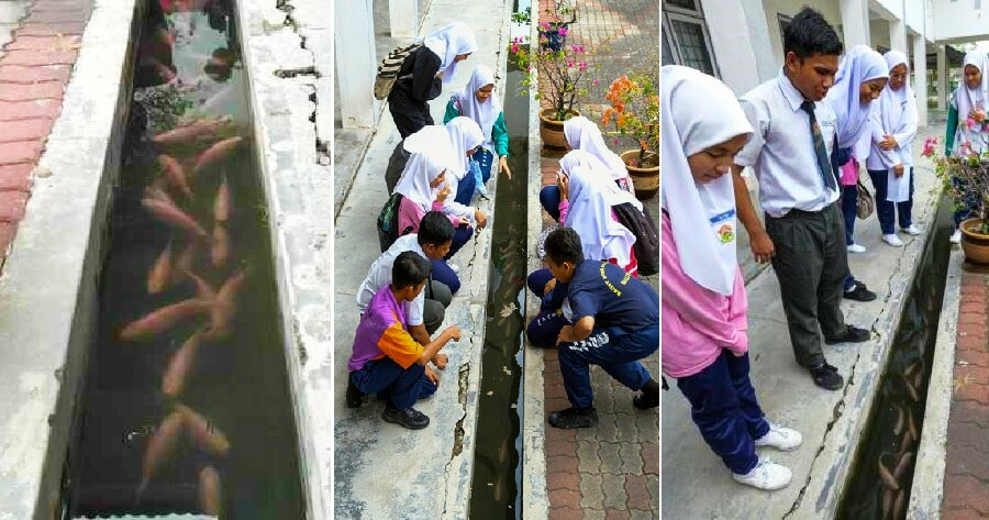 This Ipoh School Started Rearing Fish In Their Longkang for Only RM100 & It Looks Awesome! - WORLD OF BUZZ 4
