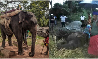 18yo Elephant Dies From Exhaustion After It Was FORCED To Carry Traveling Tourists - WORLD OF BUZZ 5