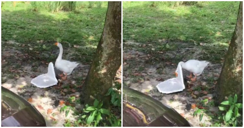 Goose in Malaysian Village Chomping Down on Polystyrene Will Make - WORLD OF BUZZ