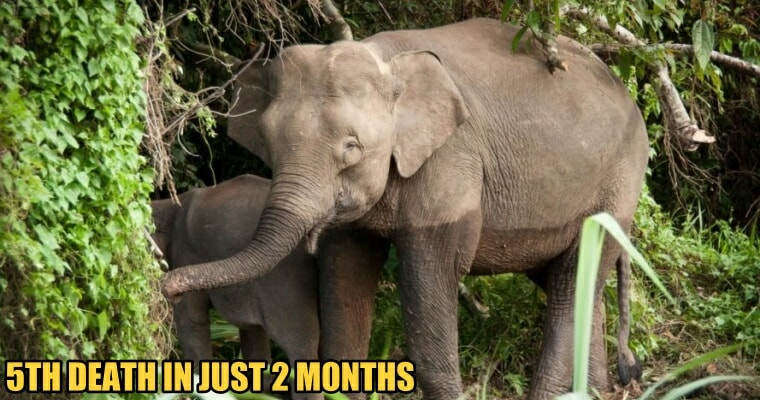 A Borneo Pygmy Elephant was Found Poisoned to Death in a Sabah Plantation - WORLD OF BUZZ