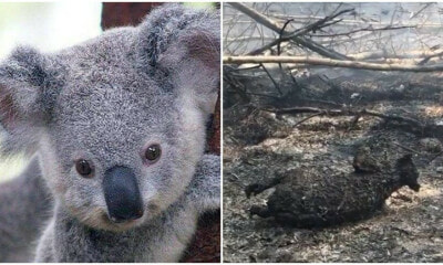 "Despite Recent Claims Koalas Aren't ""Functionally Extinct"" But That Doesn't Mean They're OK - WORLD OF BUZZ"