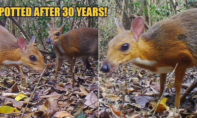 Rare-Mouse Deers Thought To Be Extinct Are Seen For The First Time In 30 YEARS - WORLD OF BUZZ