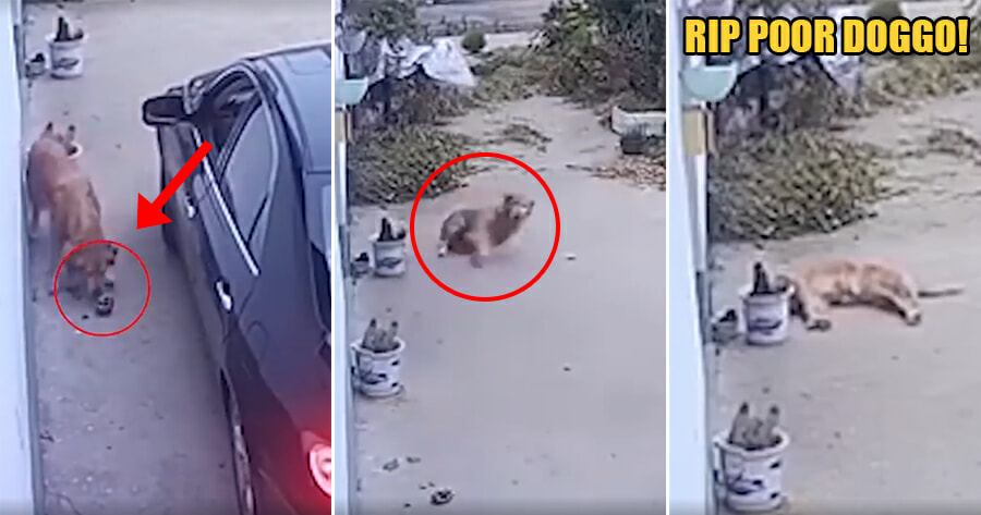 Heartbreaking Video Shows Doggo Convulsing & Struggling to Stand After Being Poisoned by Stranger - WORLD OF BUZZ