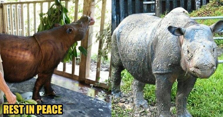 Malaysia's Last Sumatran Rhinoceros Passed Away Due to Cancer - WORLD OF BUZZ 2