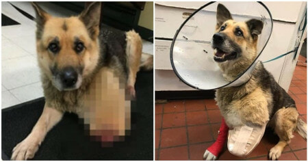 Old German Shepard Ate Its Own Leg To Survive After Being Chained Outside To Starve - WORLD OF BUZZ
