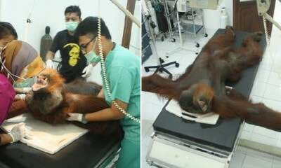 Orangutan Is Now Blind After Cruel Poachers Shot Him 24 Times With Air Rifle - WORLD OF BUZZ 6
