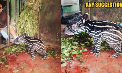 PERHILITAN Asks Everyone to Help Name a Newborn Baby Tapir from Sungai Dusun! - WORLD OF BUZZ 1