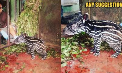 Perhilitan Asks Everyone To Help Name A Newborn Baby Tapir From Sungai Dusun! - World Of Buzz 1