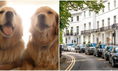 You Can Get Paid RM171,000 to Look After 2 Golden Retrievers Full Time in a 6-Storey Townhouse! - WORLD OF BUZZ