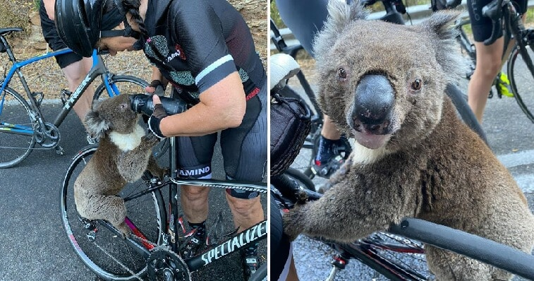 Severely Dehydrated Koala Chases After Cyclist To Ask For Some Water - WORLD OF BUZZ