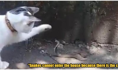 Village Cat Protects His Family's Home From Snakes, Fights & Killed Venomous Cobras - WORLD OF BUZZ
