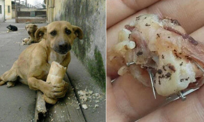 Dog Fed With Bread And Sausage Containing Nails And Needles By Cruel Individuals - WORLD OF BUZZ 5