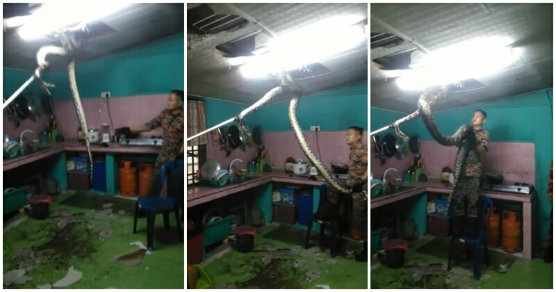 Huge Reticulated Python Was Extracted From A Ceiling In A FELDA Home By Bomba - WORLD OF BUZZ 1