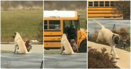 Loyal & Clever Doggo Waits For Kids To Go Into The Bus Every Morning Before Leaving - WORLD OF BUZZ 3