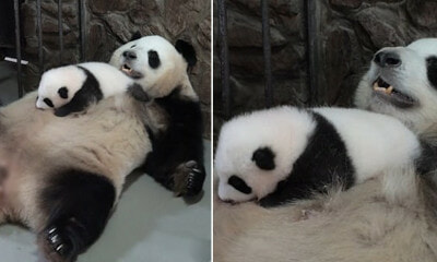 Adorable Video Shows Mama Panda Wiggling Her Tummy to Rock Baby Panda to Sleep - WORLD OF BUZZ