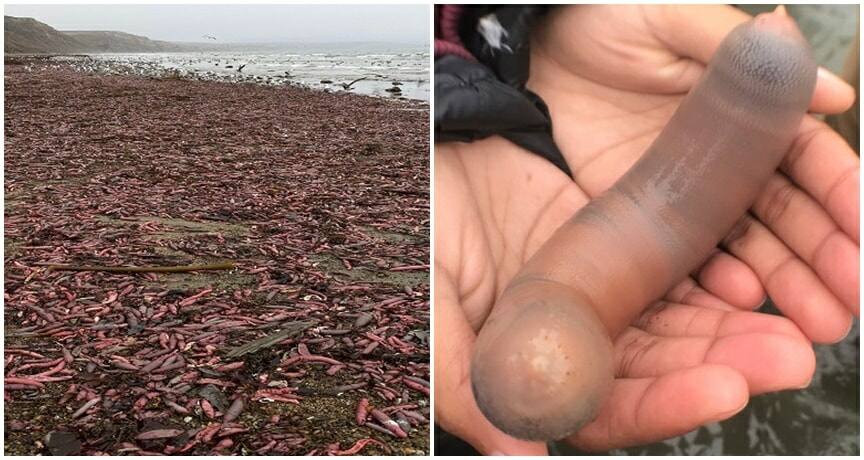 Video: Thousands of 'Penis Fish' Wash Up, Proving That There's Still Plenty of Fish In The Sea - WORLD OF BUZZ 3