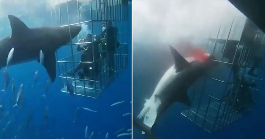 Video: Great White Shark Bleeds to Death After Struggling to Break Free from Diver Cage - WORLD OF BUZZ