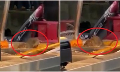 Huge Rat Caught on Camera Indulging on Food Left on Tray At Mamak's Nasi Lemak Stall - WORLD OF BUZZ
