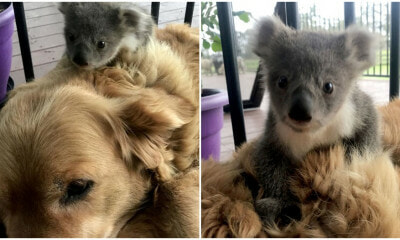 Brave Golden Retriever Returns Home After Saving A Baby Koala From Freezing To Death - WORLD OF BUZZ 3